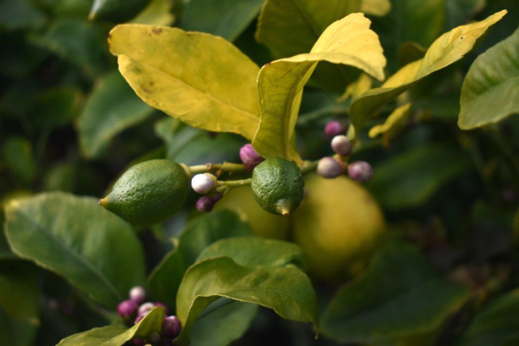 limone frutto e germogli